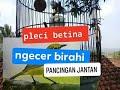 Pleci Betina Ngecer Birahi Pancingan Pleci Jantan  Mp3 - Mp4 Download
