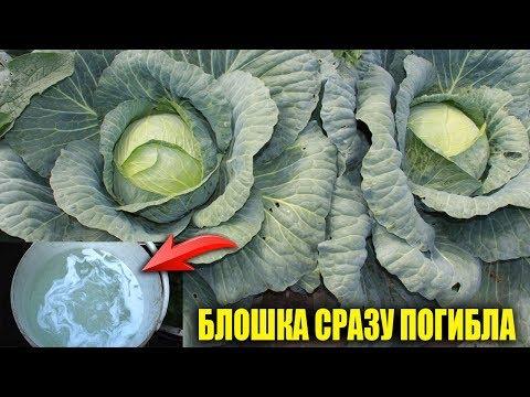 Вопрос: Кто ест у капусты листья и как бороться с ним?