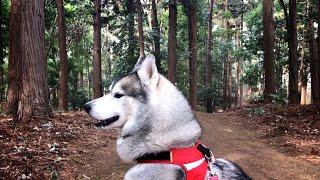 遠出して森的な所に行ってみました。 モロとはもののけ姫の山犬です。 ...
