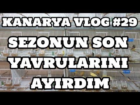 Kanarya Vlog #29 (En Son Ayırdığım Yavrular) [26.07.2017]