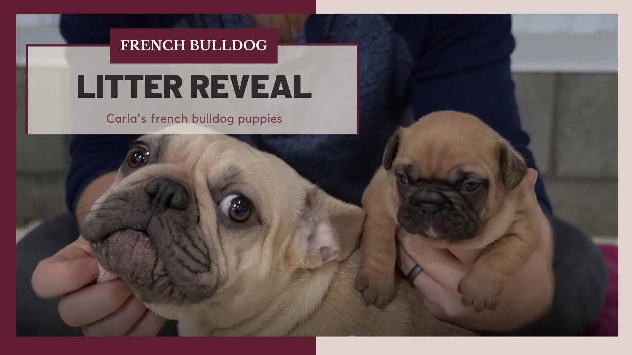 Top 10 Best Cute French BullDog Puppies Videos Compilation 2016