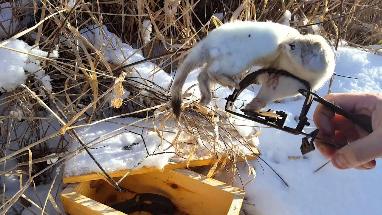Weasel Trapping 2016 Quot Number 3 Amp 4 Quot Youtube