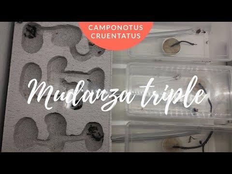 mudanza-de-tres-pequeñas-colonias-de-camponotus-cruentatus