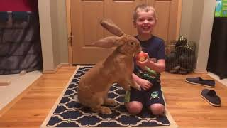 Giant Rabbit Shares Apple With a Kid - 989434