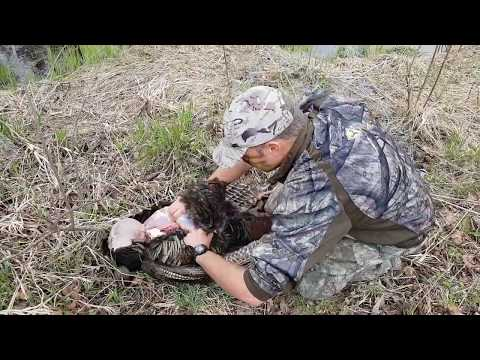 Easy Turkey cleaning method - Breasting out a Wild Turkey