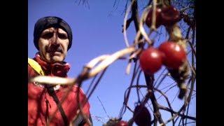 Otrovne Biljke -Bljust(Crna Loza)  -  Dioscorea Communis - Toxic Plants - Black Bryony (Research)
