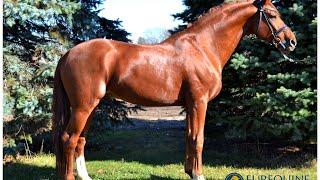 Bingotti Hanoverian Stallion In Hand