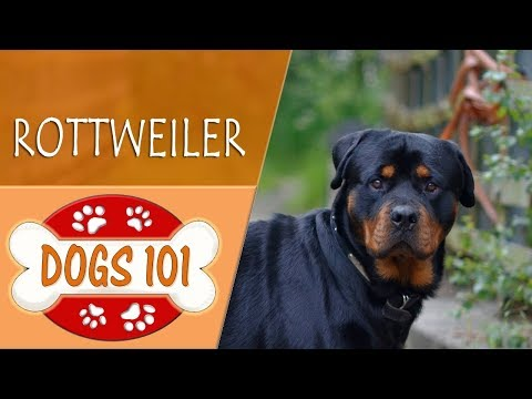 dogs-101---rottweiler---top-dog-facts-about-the-rottweiler