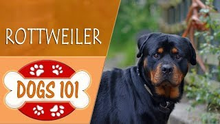 Dogs 101  ROTTWEILER  Top Dog Facts About the ROTTWEILER