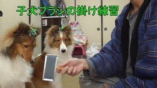 子犬にブラシを掛ける時、怖がられる等ありますが、正しく練習すれば落...