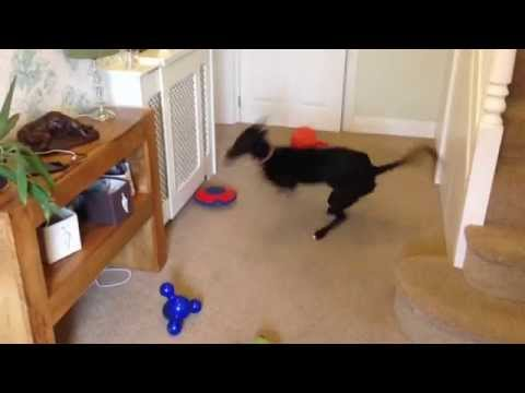 Greyhound Puppy Playing with Squeaky Toy