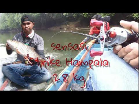 Babon Hampala - Casting Hampala Strike Hampala Babon 2,3kg