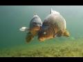 Подводная Охота. Spearfishing Carp