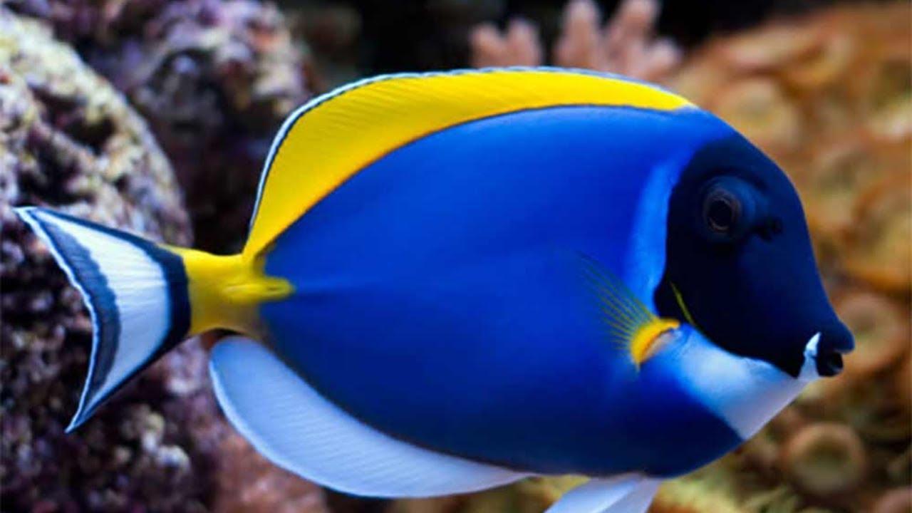Jenis Ikan Hias Air Laut Gambar Ikan Laut 80 Jenis Ikan Hias Laut Paling Populer Paling Cantik Paling