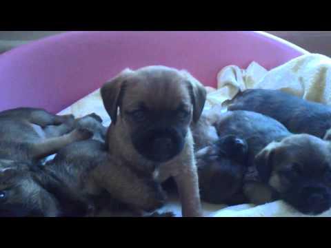 Adorable Border Terrier Puppies!