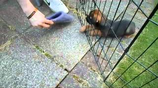 Baxter 09 - Playing With Slipper In Garden (cute Puppy Border Terrier @ 7 Weeks)