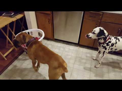 Boxer and dalmatian scared of laundry basket