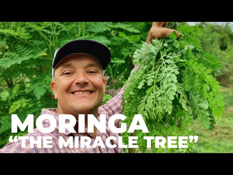 """The Most Nutritious Terrestrial Plant in The World - Moringa oleifera """"The Miracle Tree"""""""