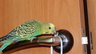 Как попугай Риччи на смартфоне играл