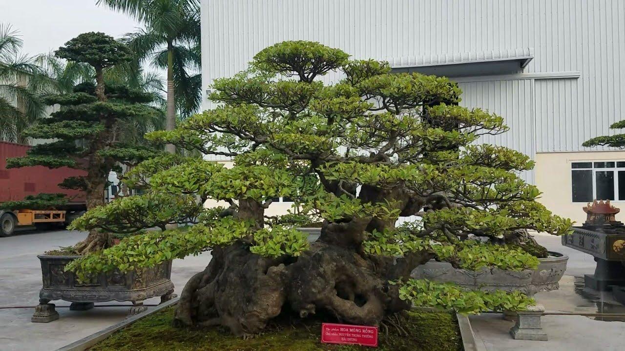 SH.607.Độc đáo cây Hoa Móng Rồng vườn cảnh Trường giấy ...