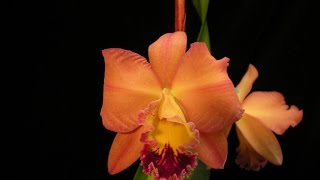 Orchid Time-Lapse, Cattleya Circle of Life x Golden Sands