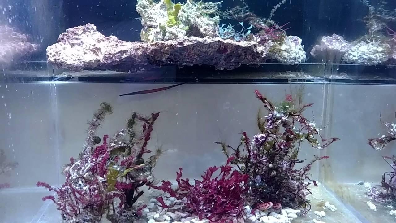 Doryrhamphus janssi (Cleaner Pipefish) - Reef Central Online