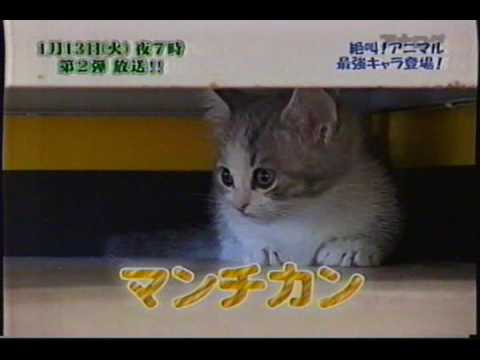 メッチャかわいい 超短足猫 マンチカン♪