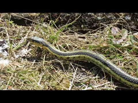 Common Garter Snake, Perth Wildlife Refuge, Canada