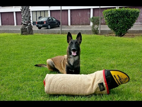 Malinois Training Best Freestyle in Morocco