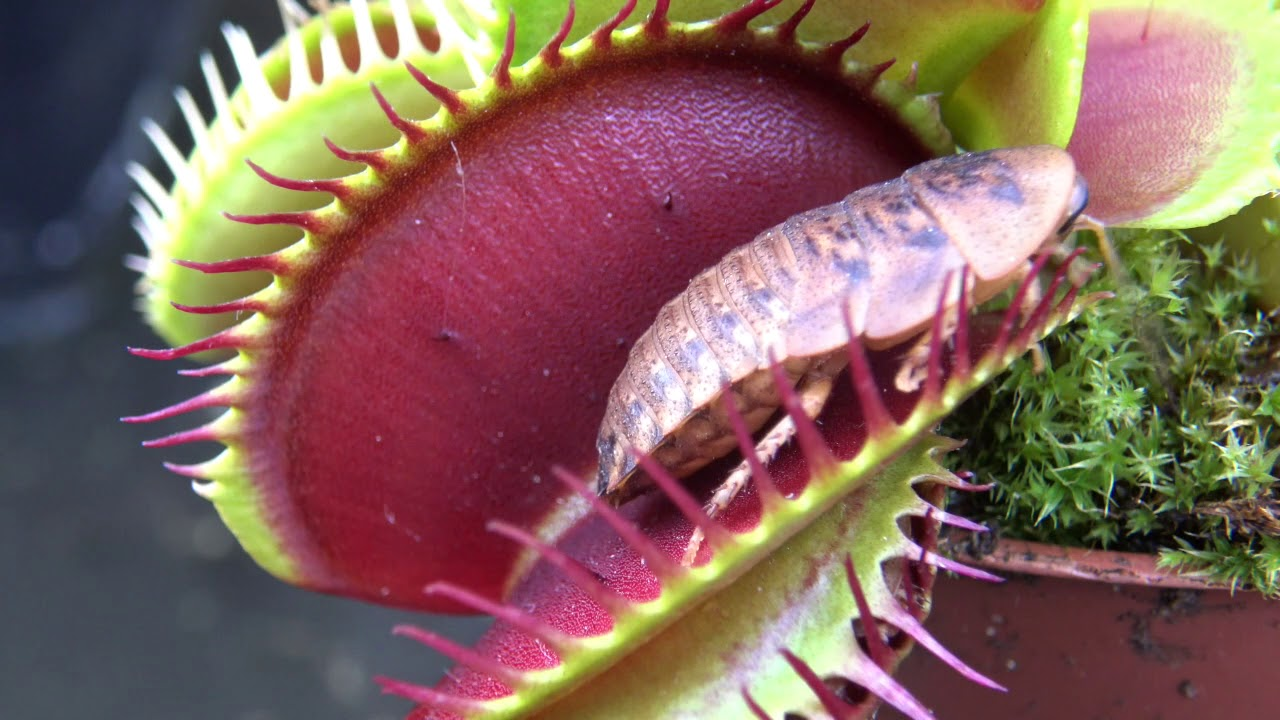 Best Venus Flytrap Trapping Compilation