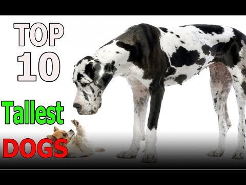 Top 10 Tallest Dog breeds | Top 10 animals