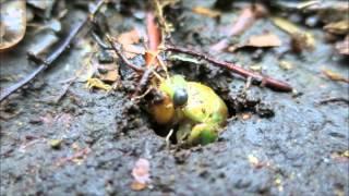 那須平成の森ガイドフォーク中、地上に出てくる瞬間のセミの幼虫に出会...