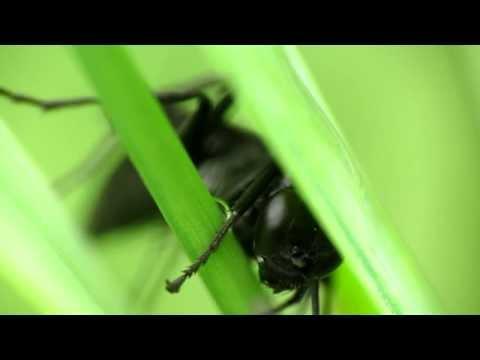 Great Black Wasp
