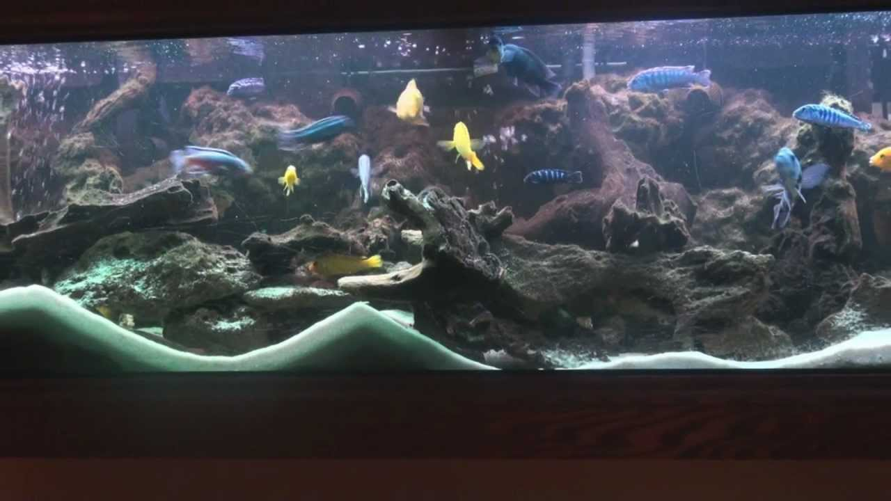 125 Gal African Cichlid Tank Wmv Youtube