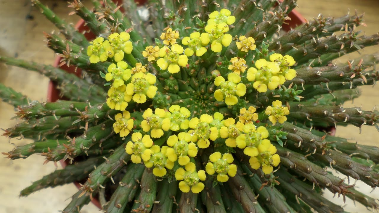My Euphorbia Flanaganii Succulent Plant The Medusas Head In