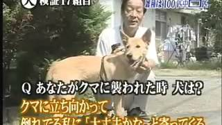 Japanese test dogs against bear attack