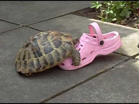 Turtle having intercourse with a shoe