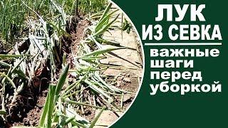 видео Выкапывание лука | Калининские сады