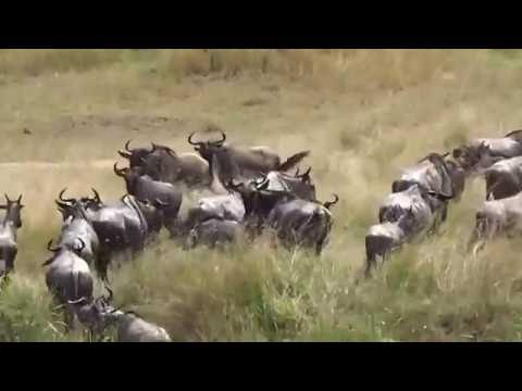 Wildebeest Migration,  Mara River Crossing, Tanzania