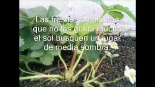 Cultivo de fresas y sus cuidados.