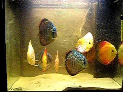 discus fish juwel lido 120 liter youtube. Black Bedroom Furniture Sets. Home Design Ideas