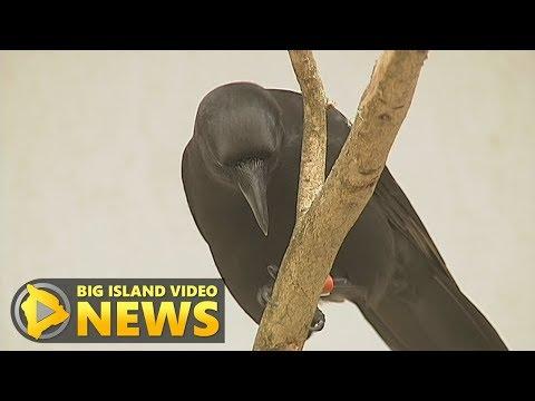ʻAlalā: Effort To Save Hawaiian Crow Recounted (July 25, 2017)