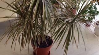 Драцена Окаймлённая Правильный Уход и Особенности(Драцена окаймленная — дерево, разновидность вида Драцена отогнутая. Это растение называют ещё «мадагаскар..., 2016-02-29T18:43:00.000Z)