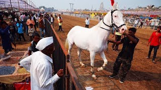 Maharashtra: Sarangkheda horse fair attracts breeders from over 20 states