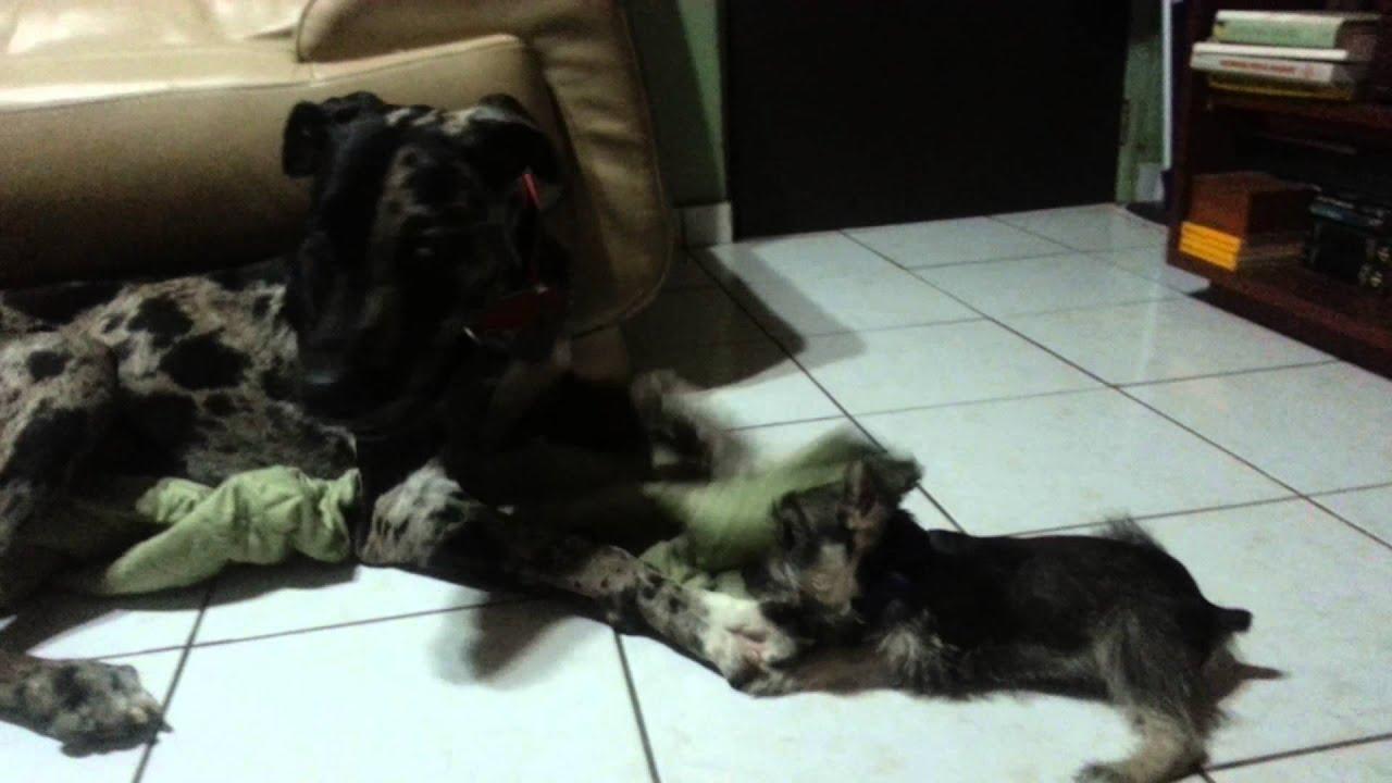 Puppies Playing Great Dane And Mini Schnauzer Youtube