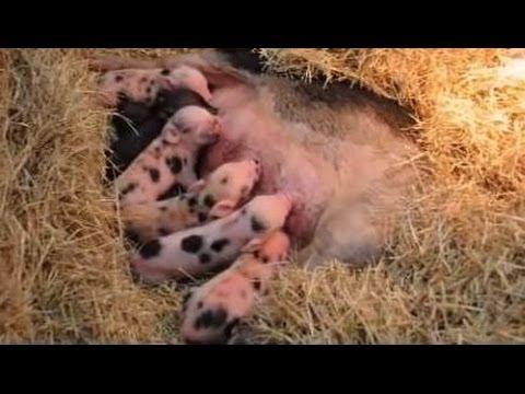 Newborn Pigs