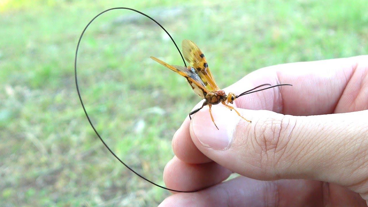 日本一針が長いハチに刺された