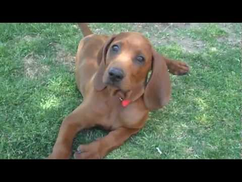 Redbone Coonhound Puppy Duke Playing With His Sisters