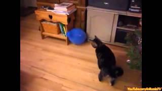 Как кошки с воздушными шариками пытались поиграть.
