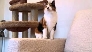 Шотландская кошка страйт